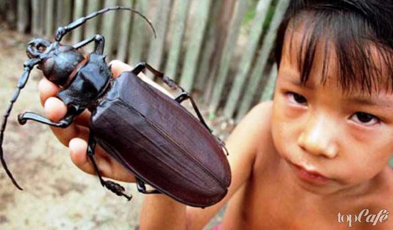 Дровосек-титан - одно из самых странных насекомых планеты
