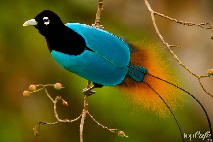 ТОП-10 птиц с самыми красивыми хвостами