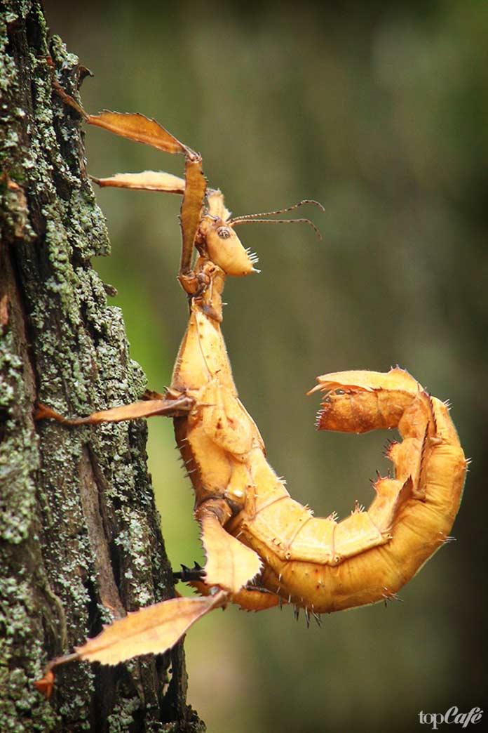 Палочник - одно из самых странных насекомых планеты