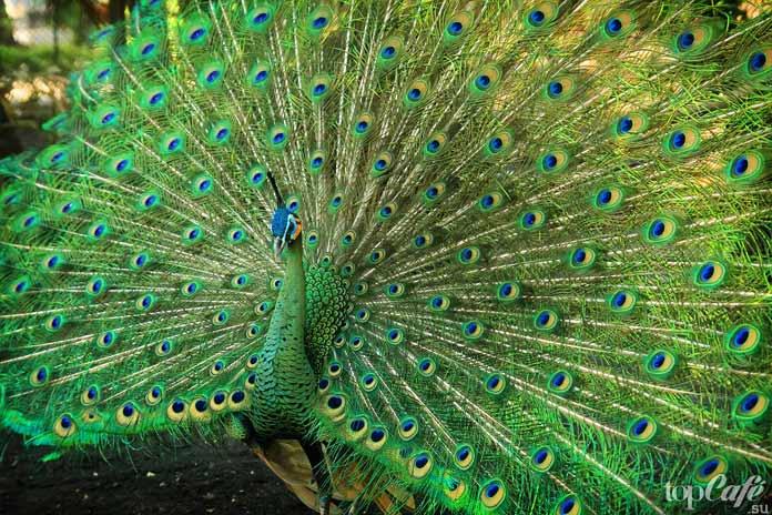 Павлин обыкновенный (индийский) - один из видов птиц самыми красивыми хвостами. CC0