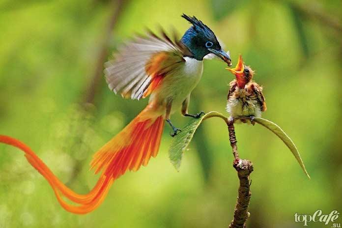 Райская мухоловка
