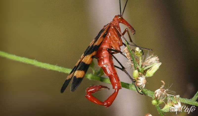 Скорпионнаца