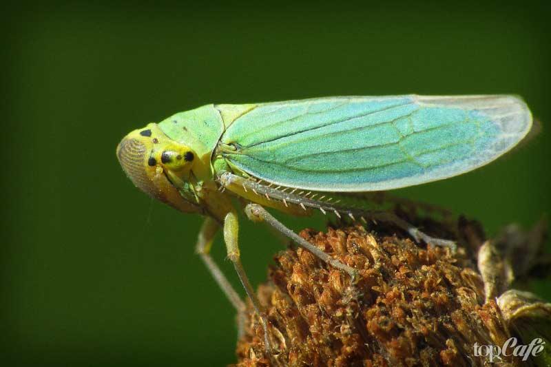 Цикадки - одно из самых странных насекомых планеты