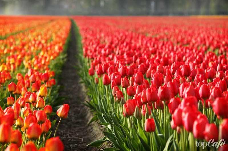 Необычные места Европы: Tulip Fields. CC0