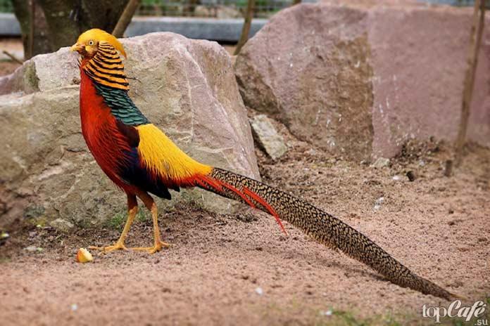 Golden Pheasant / Золотой фазан. CC0