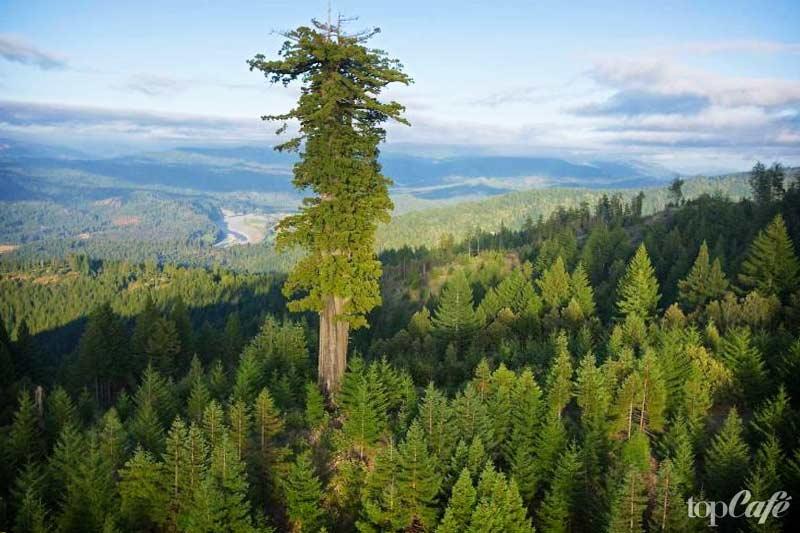 Самая высокая секвойя - одна из самых высоких вещей в мире