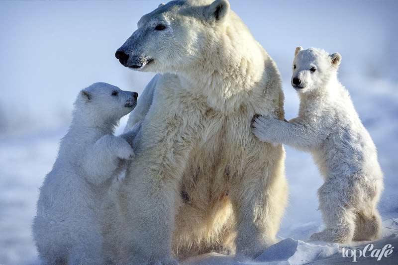 Самка белого медведя с медвежатами