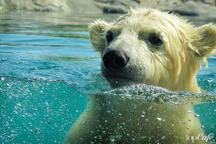 Фото белого медведя