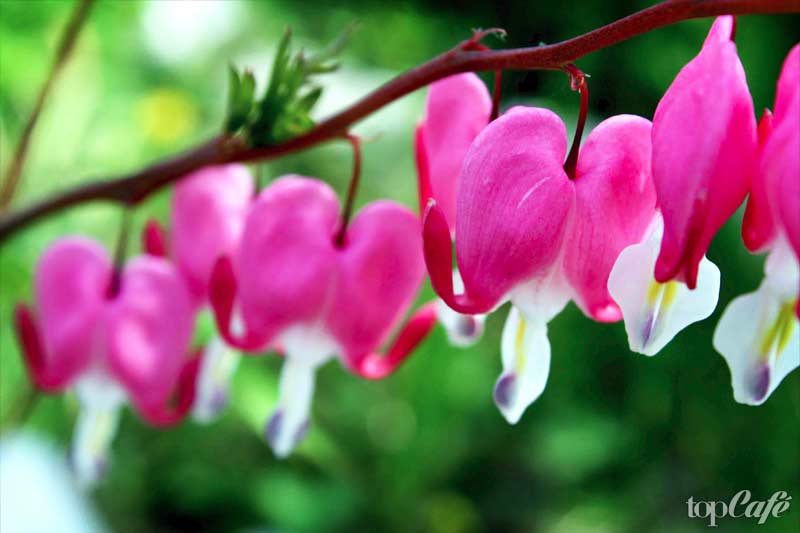 разбитое сердце цветок