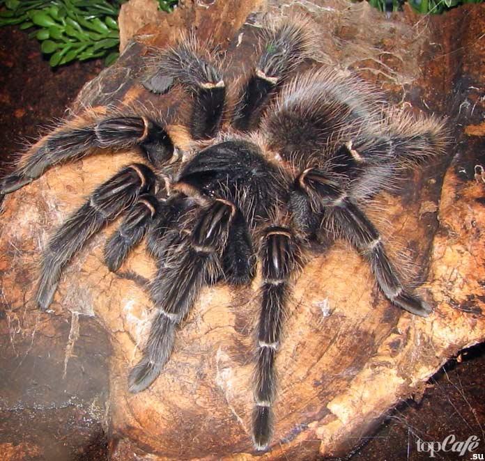 Австралийские тарантулы. CC0