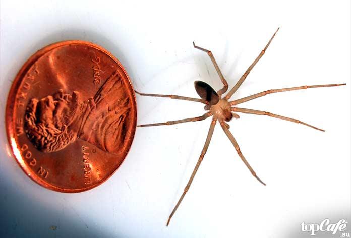 Пауки Австралии: Loxosceles. CC0