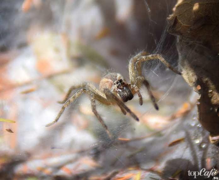 Пауки Австралии: Сиднейский лейкопаутинный паук. CC0