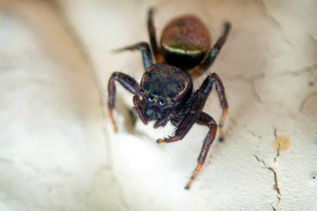 Пауки Австралии. CC0
