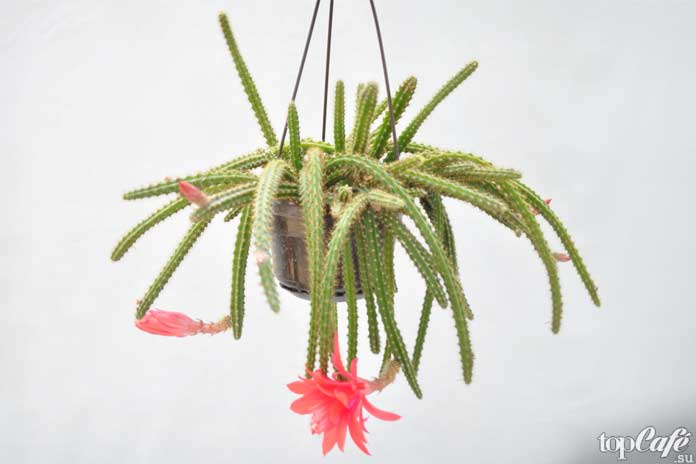 Самые красивые цветущие кактусы: Апорокактус