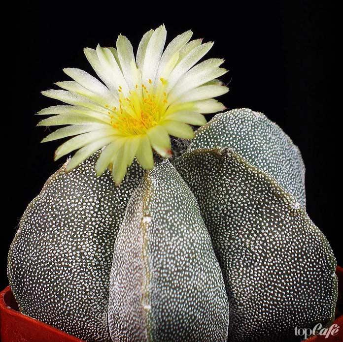 Самые красивые цветущие кактусы: Astrophytum
