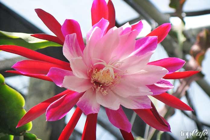 Красивые цветущие кактусы: Epiphyllum