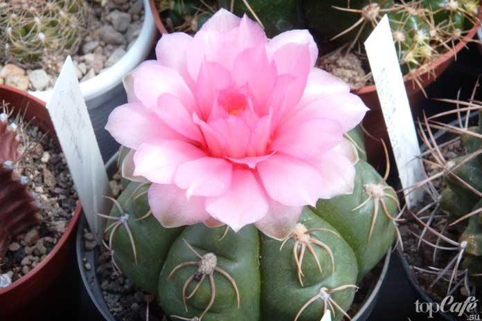 Нереально красивые цветущие кактусы: Гимнокалициум Gymnocalycium