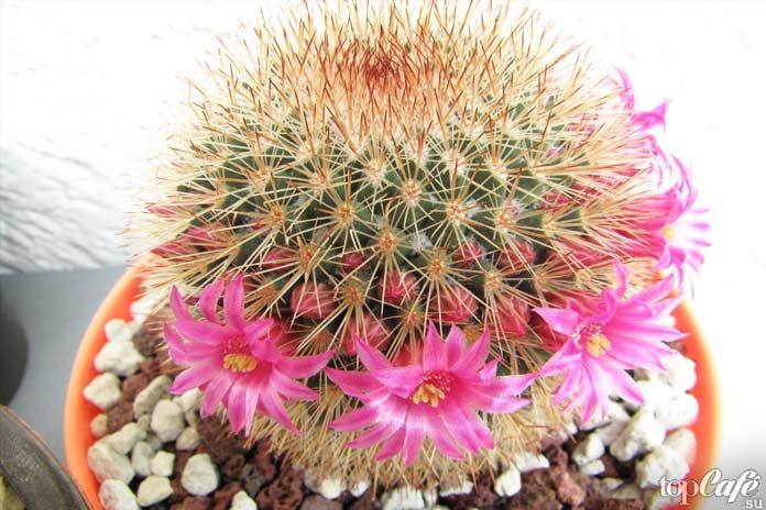 Яркие и красивые цветущие кактусы: Маммиллярия (Mammillaria)