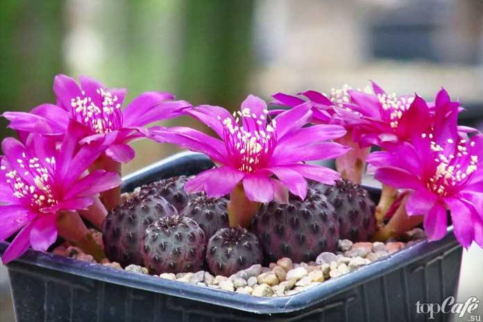 Неотразимые и красивые цветущие кактусы: Ребуция (Rebutia)