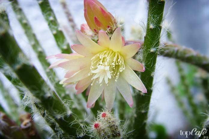Невероятно красивые цветущие кактусы: Рипсалис (Rhipsalis)