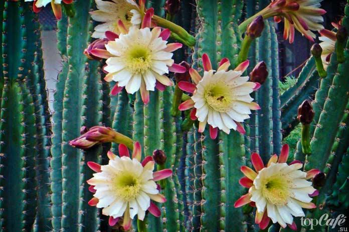 Очень красивые цветущие кактусы: Цереус