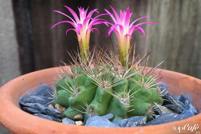 Эхинокактусы (echinocactus)