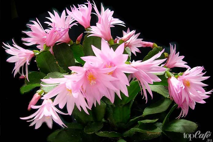 Удивительно красивые цветущие кактусы: rhipsalidopsis gaertneri