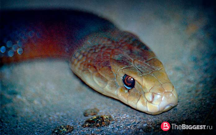 Oxyuranus scutellatus. Опасная змея Австралии