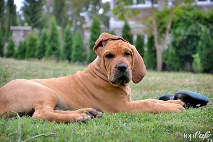 Собака фила бразилейро