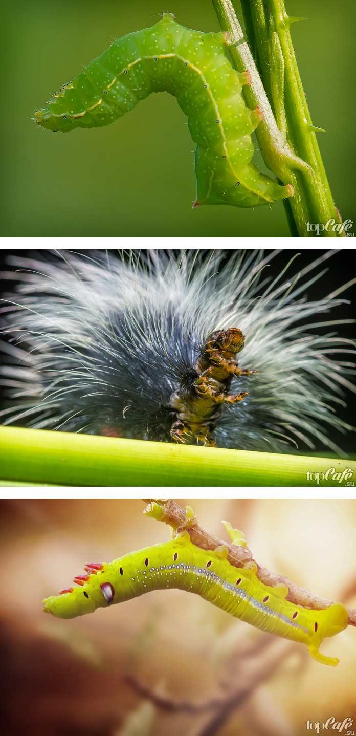 Самые красивые гусеницы в мире (CC0)