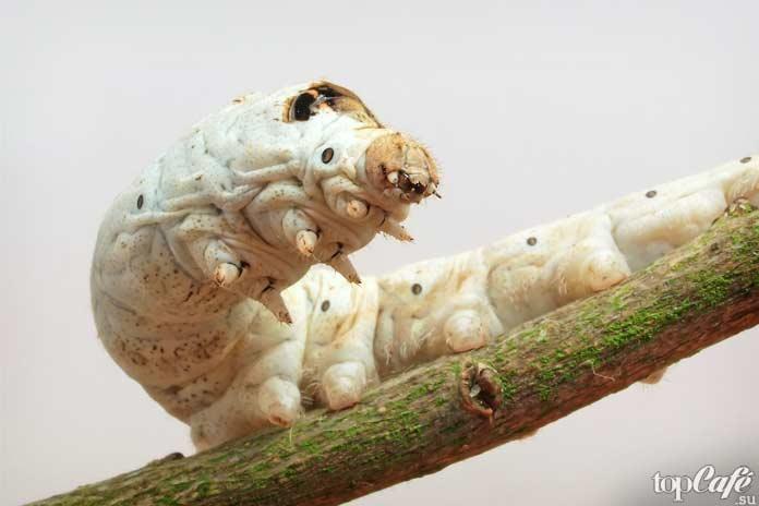 Тутовый шелкопряд. Bombyx Mori
