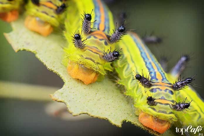 Слизневидка. Limacodidae Euclidae