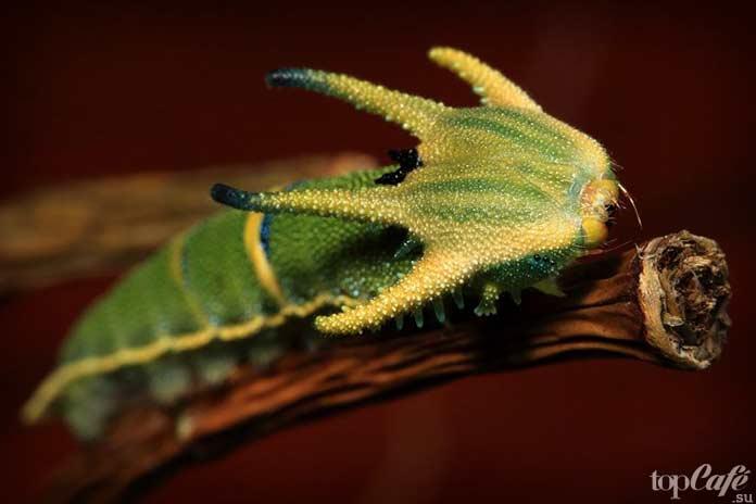 Хвостатая императорская бабочка. Polyura Sempronius