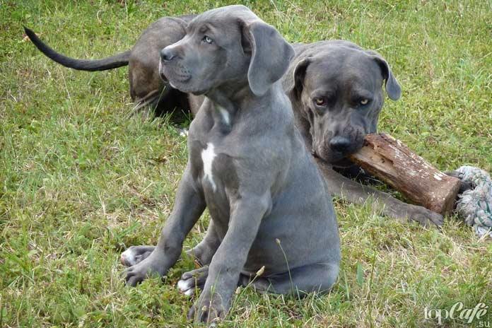 Кане-корсо - одна из популярных пород бойцовских собак
