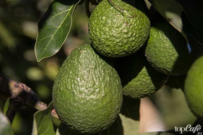 10 фактов об авокадо