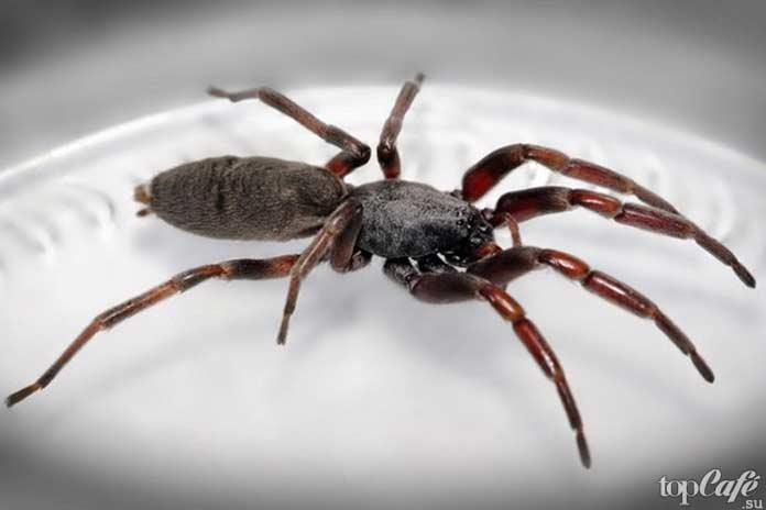 Самые опасные пауки: Белохвостый паук