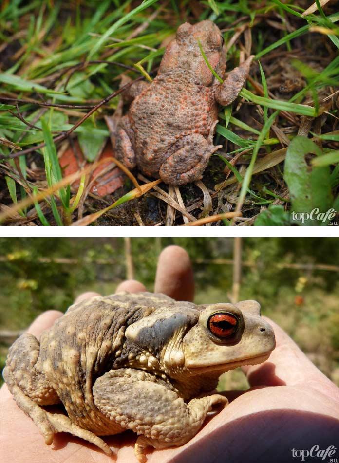 Самые ядовитые лягушки в мире: Серая жаба / Bufo bufo. CC0