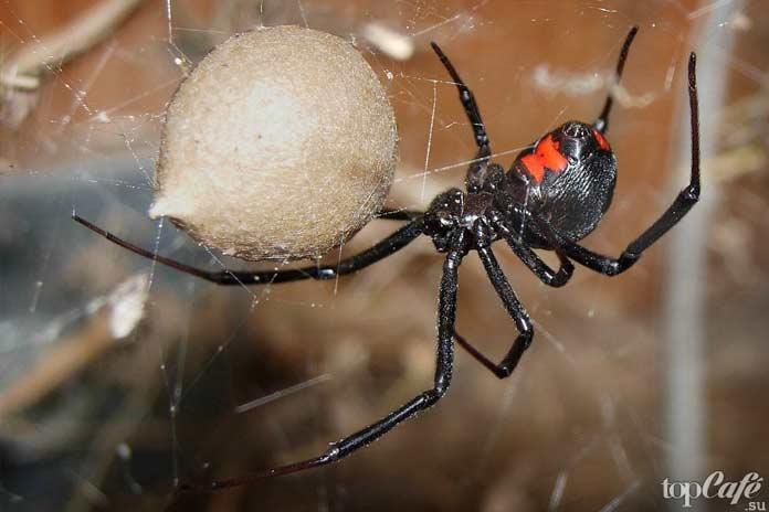 Список опасных пауков: Черная вдова