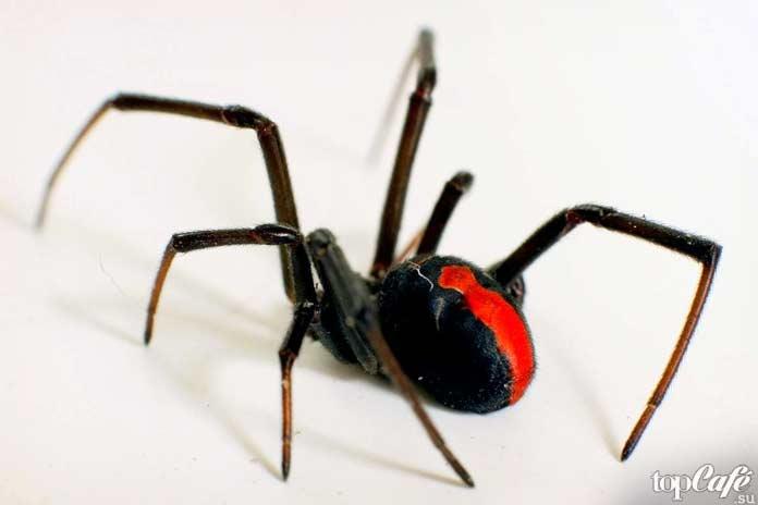 Список опасных пауков: Красноспинная австралийская вдова