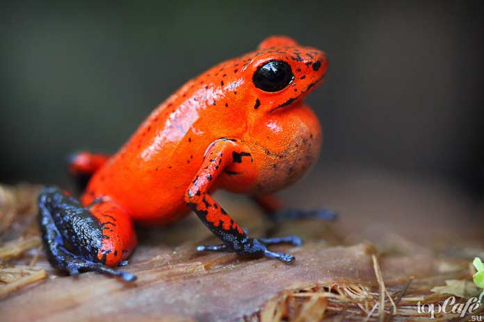 Самые ядовитые лягушки в мире: Маленький древолаз