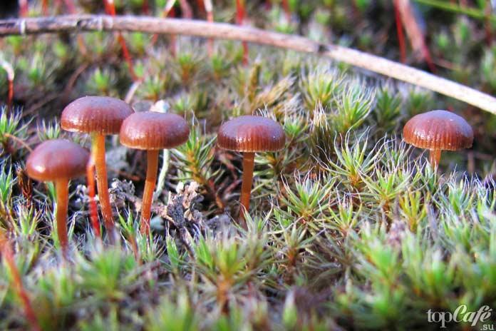 Псилоцибиновые грибы: Псилоцибе Монтана
