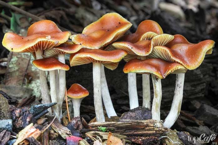 Псилоцибиновые грибы: Псилоцибе синеющая