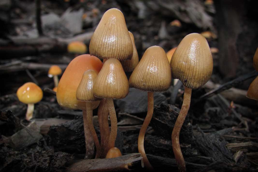 Особенности дозировки псилоцибиновых грибов