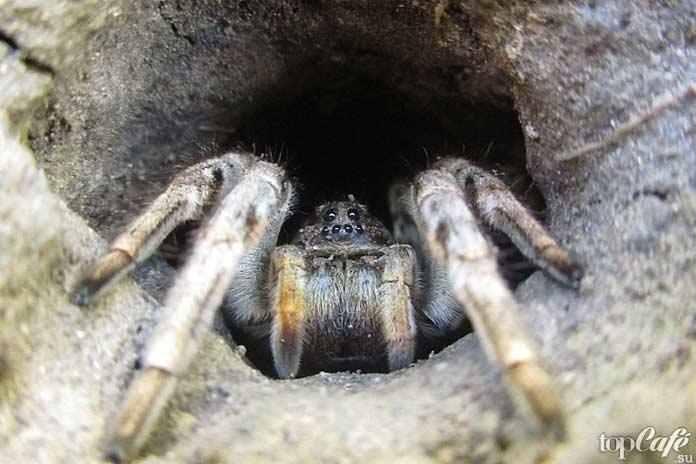 Самые опасные пауки: Тарантул