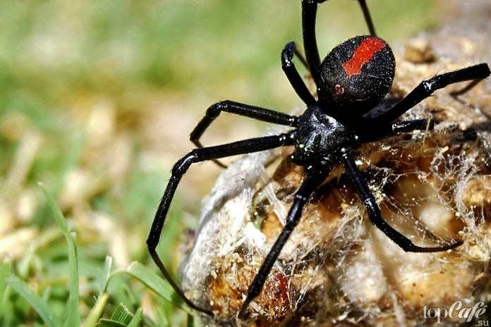 Список интересных фактов об Австралии: Ядовитые пауки