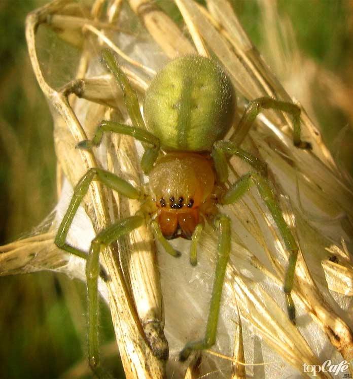 Список опасных пауков: Желтосумный паук