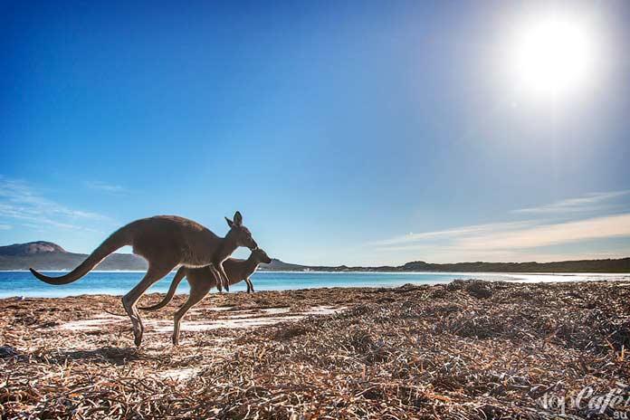 Список фактов об Австралии: кенгуру