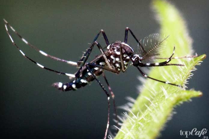 Самые опасные комары: Aedes albopictus