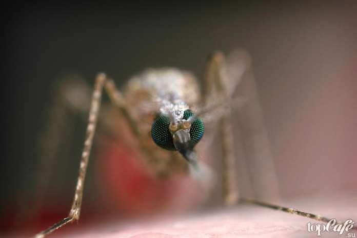 Самые опасные комары: Anopheles stephensi