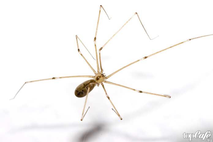 Список маленьких пауков: Фолькус фаланговидный